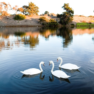 swans on lagoon, UCSB